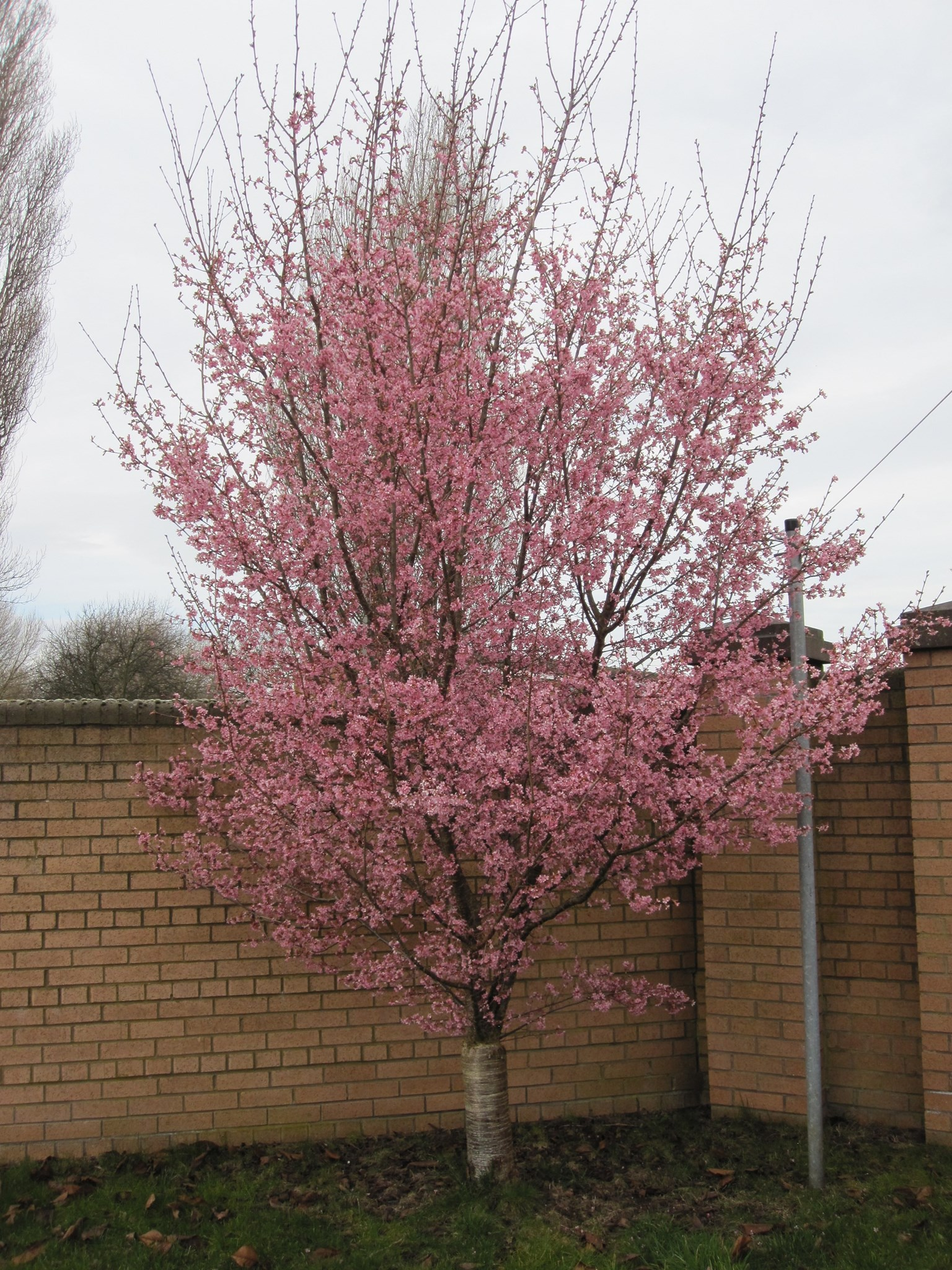 The blossom tree is growing bigger every year