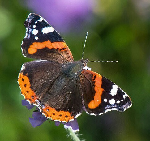 Red Admiral ??