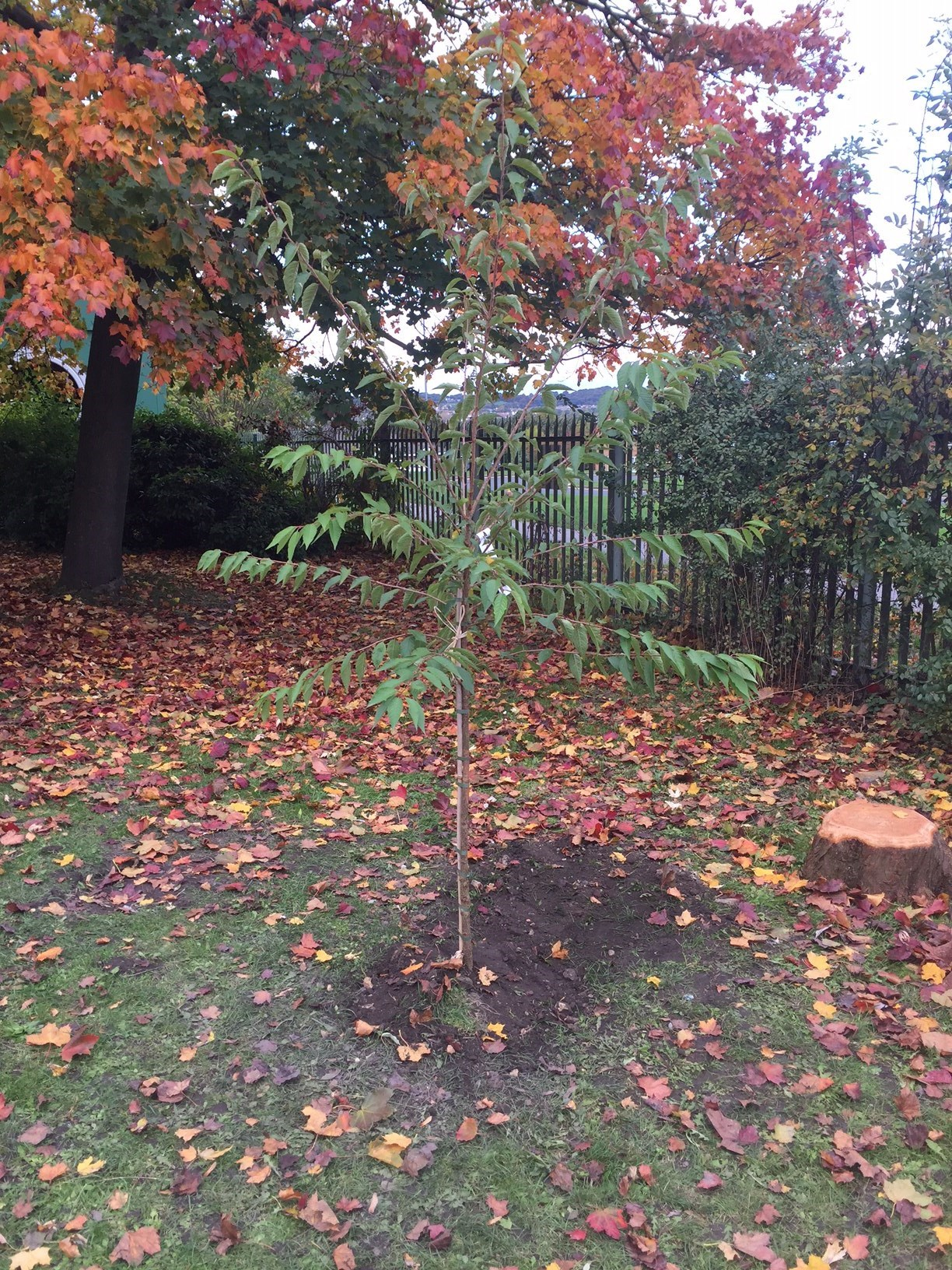 Winter cherry blossom tree planted at Valley View Primary School in memory of Henry 19/10/2016