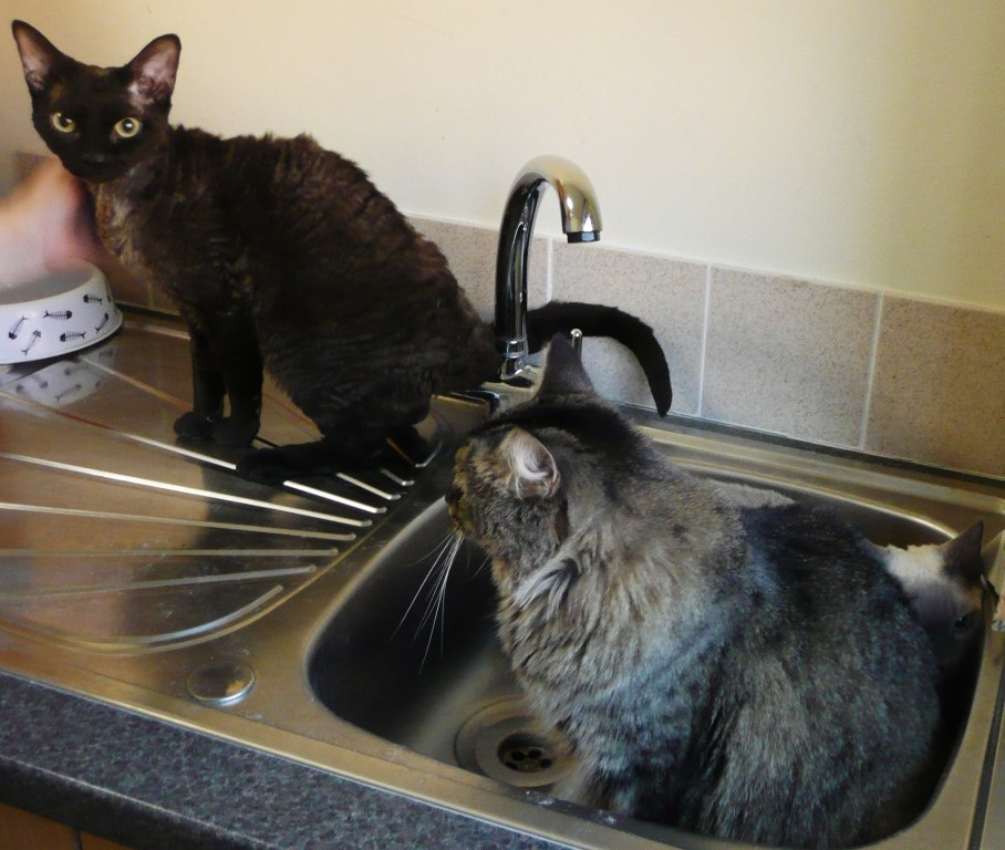 Cats - All three in sink
