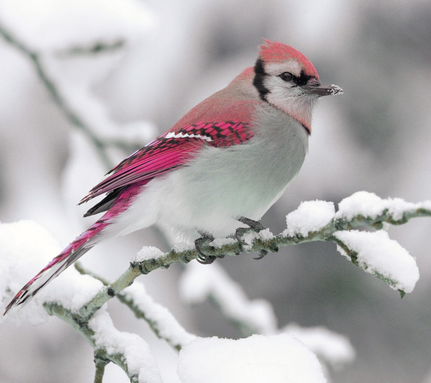 Snow Bird-wallpaper-10808036