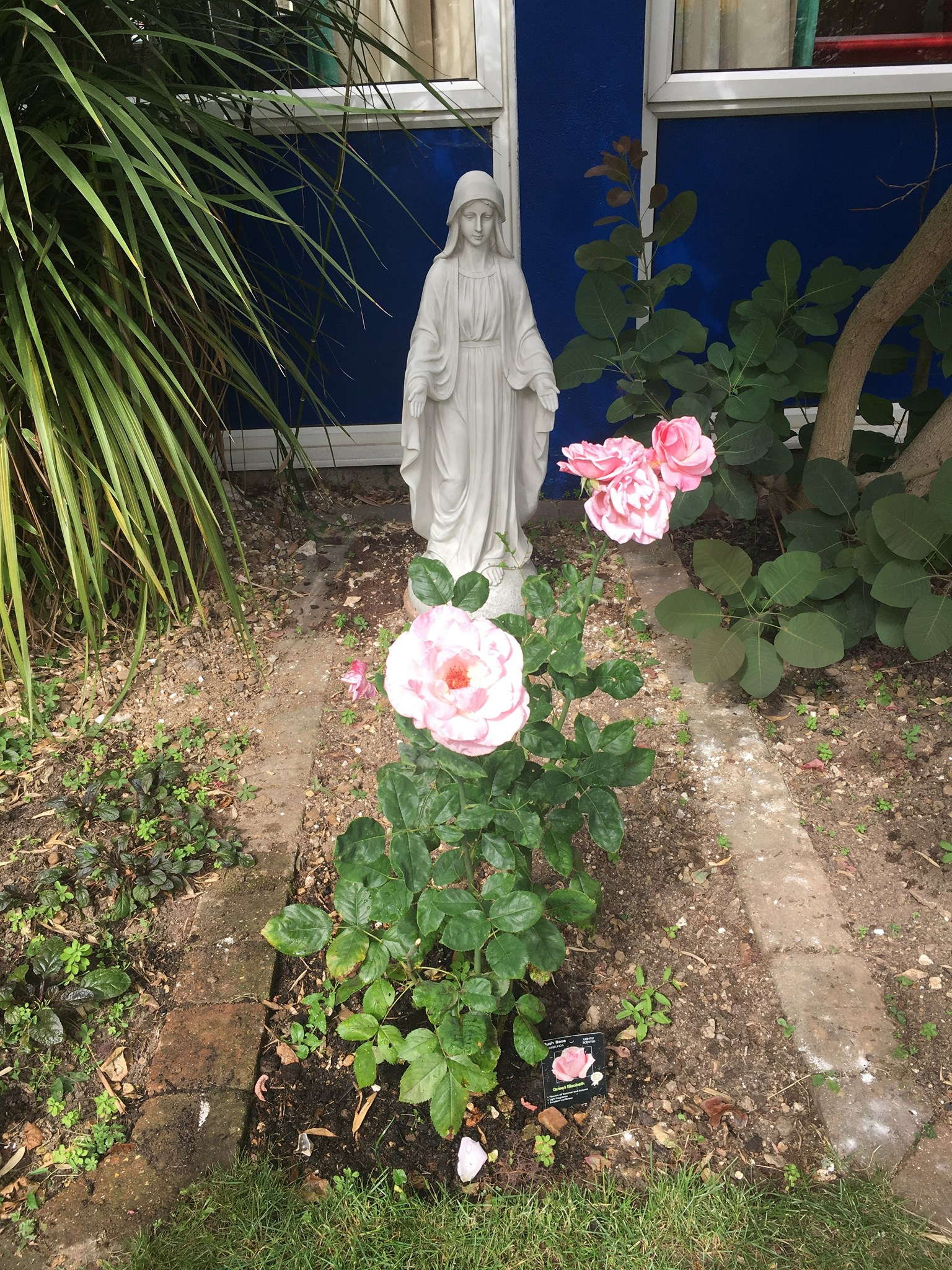 Elizabeth rose at St Vincents in full bloom