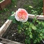 Your beautiful Rose blossoming x