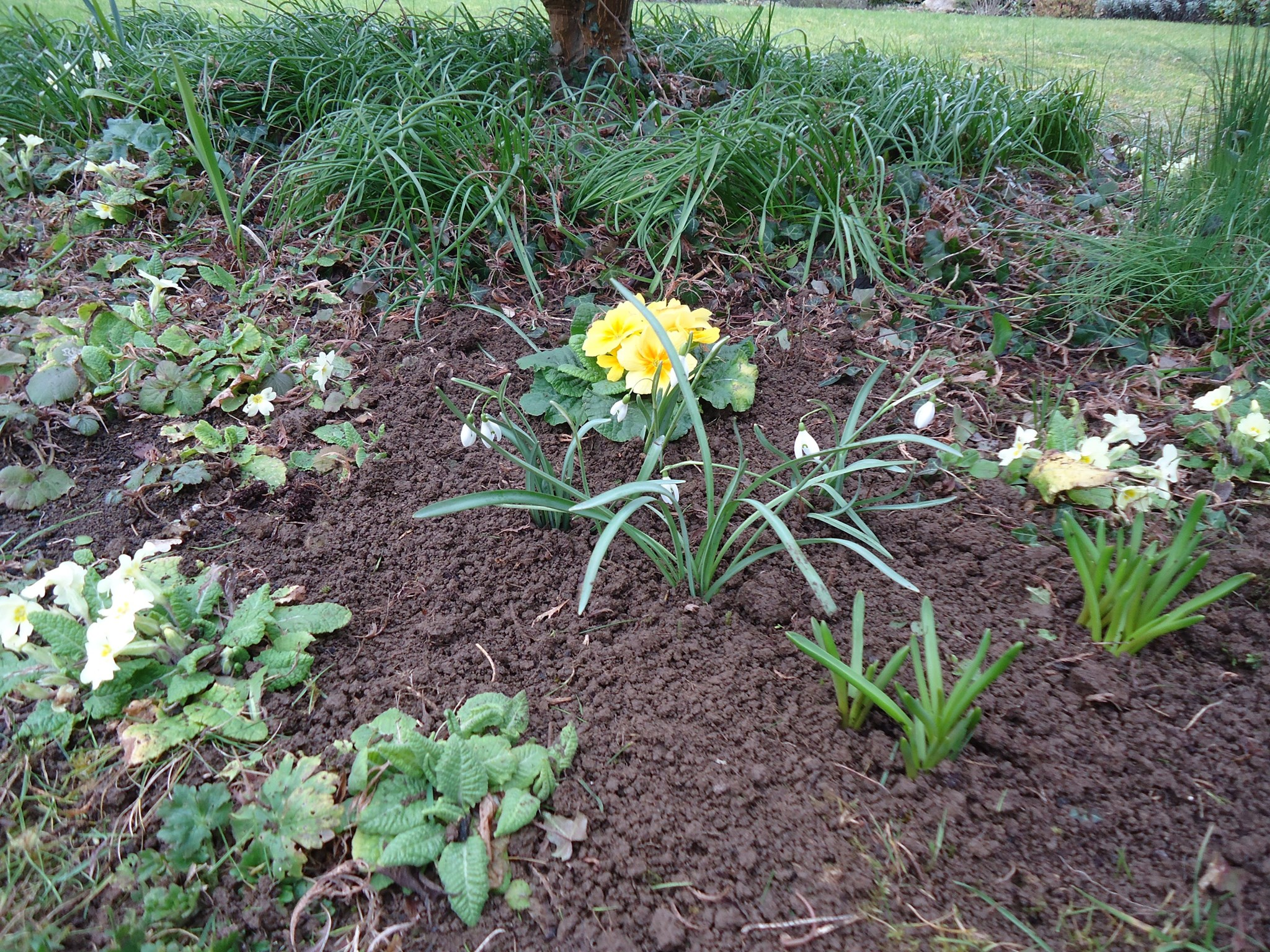 Eva's snowdrops are now planted in our garden, we will cherish them every year. Love, Lucy xx