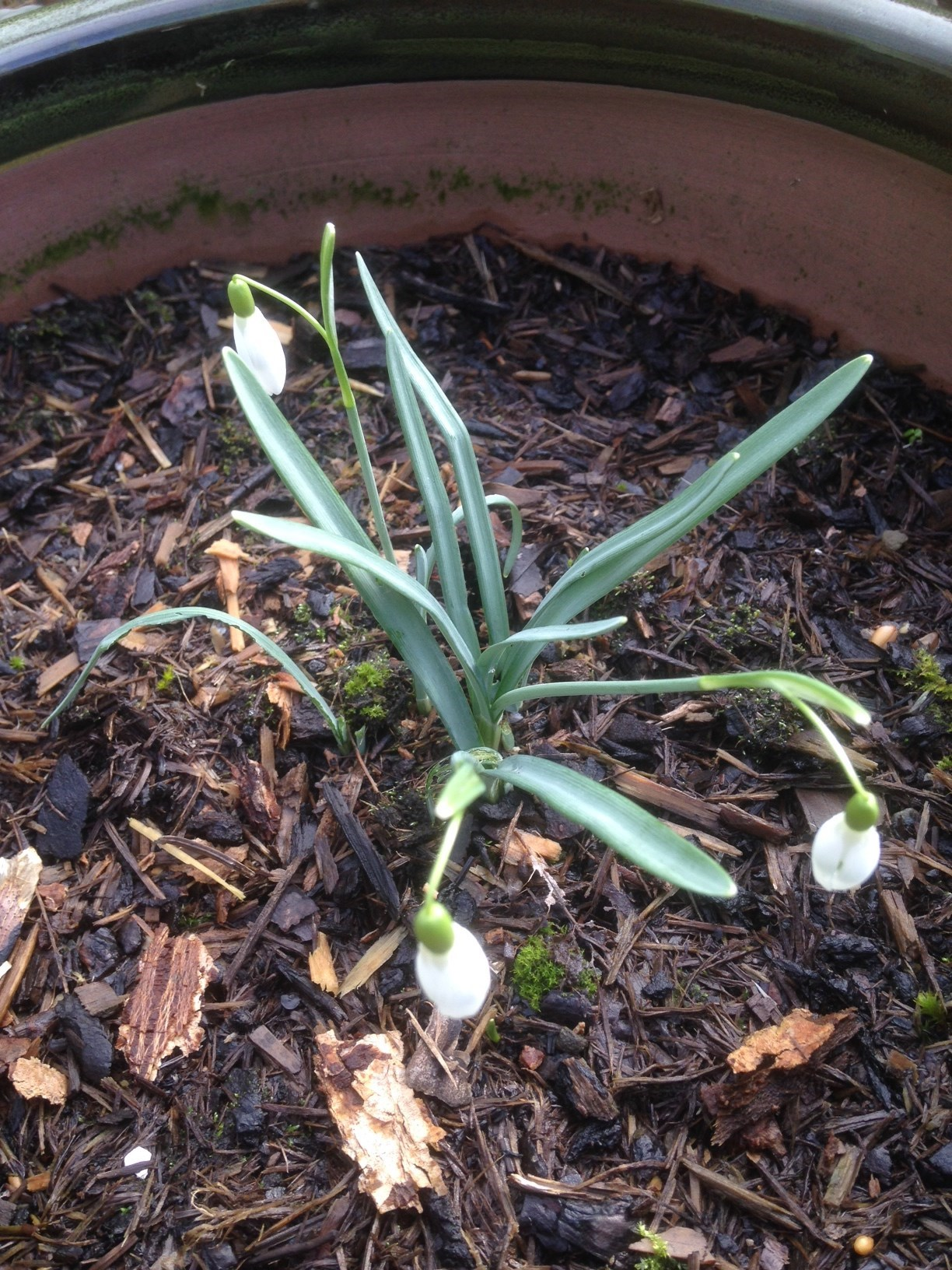 Where there was one of Eva's snowdrops there are now three!