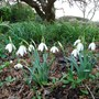 Eva's Snowdrops have multiplied! They are beautiful, we look at them every day. Sandra&Mark x