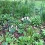 Eva's snowdrops blooming again this year and cheering up the garden. Sandra&Mark x