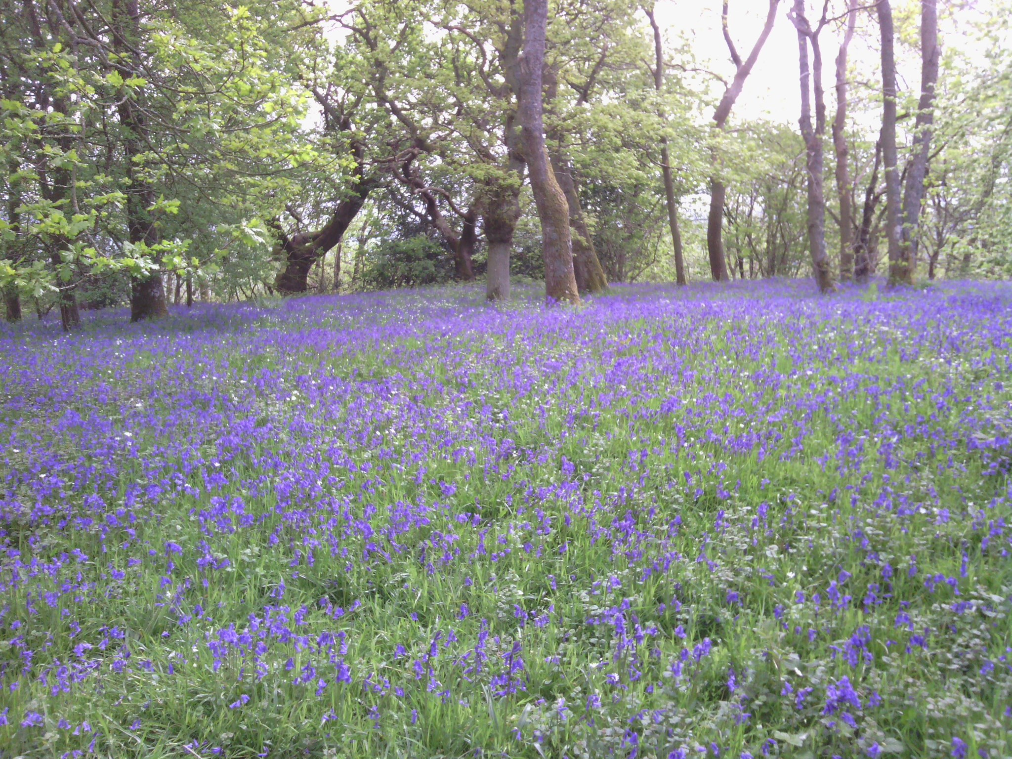 A walk through the Bluebells
