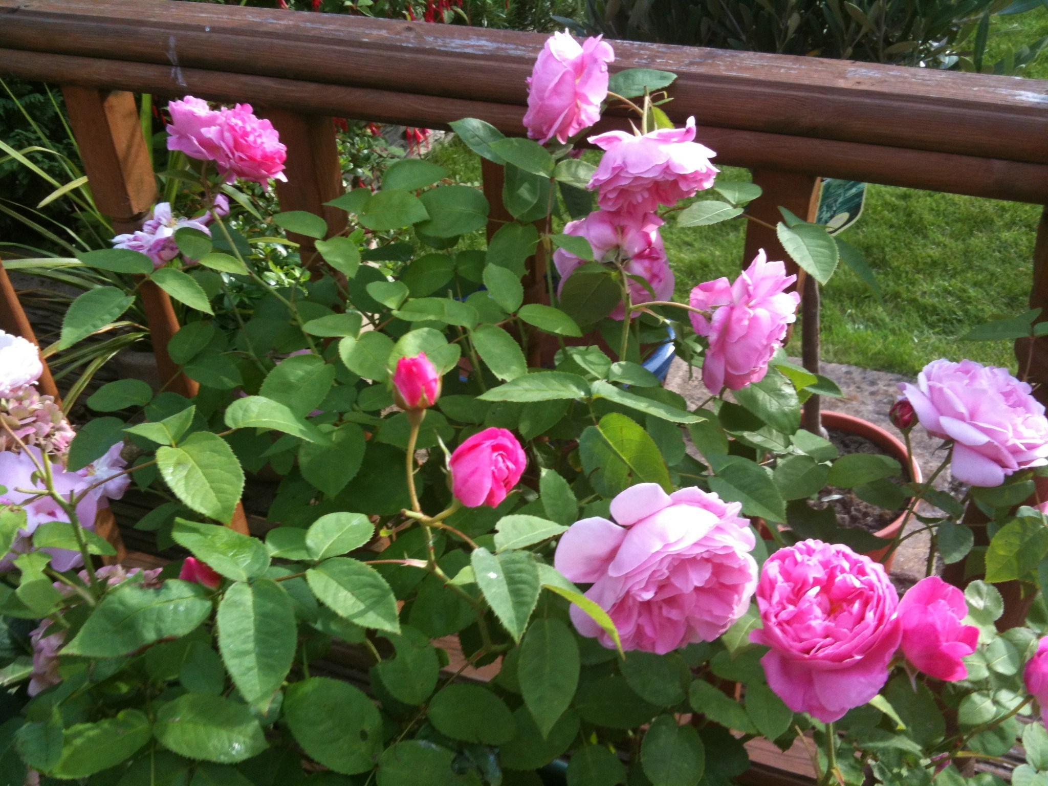 Beautiful scented David Austen rose called 'Mary Rose' which grows in my garden in memory of my Mum.