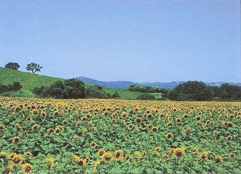 Sunflowers growing on the plains of Andalucia, Spain