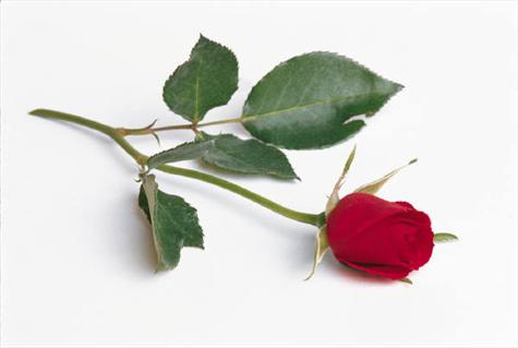 A single red rose has been left for Paul