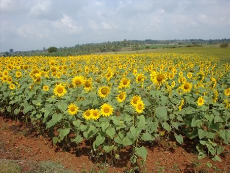 Thoughts of Paul - a field of sunflowers in southern India