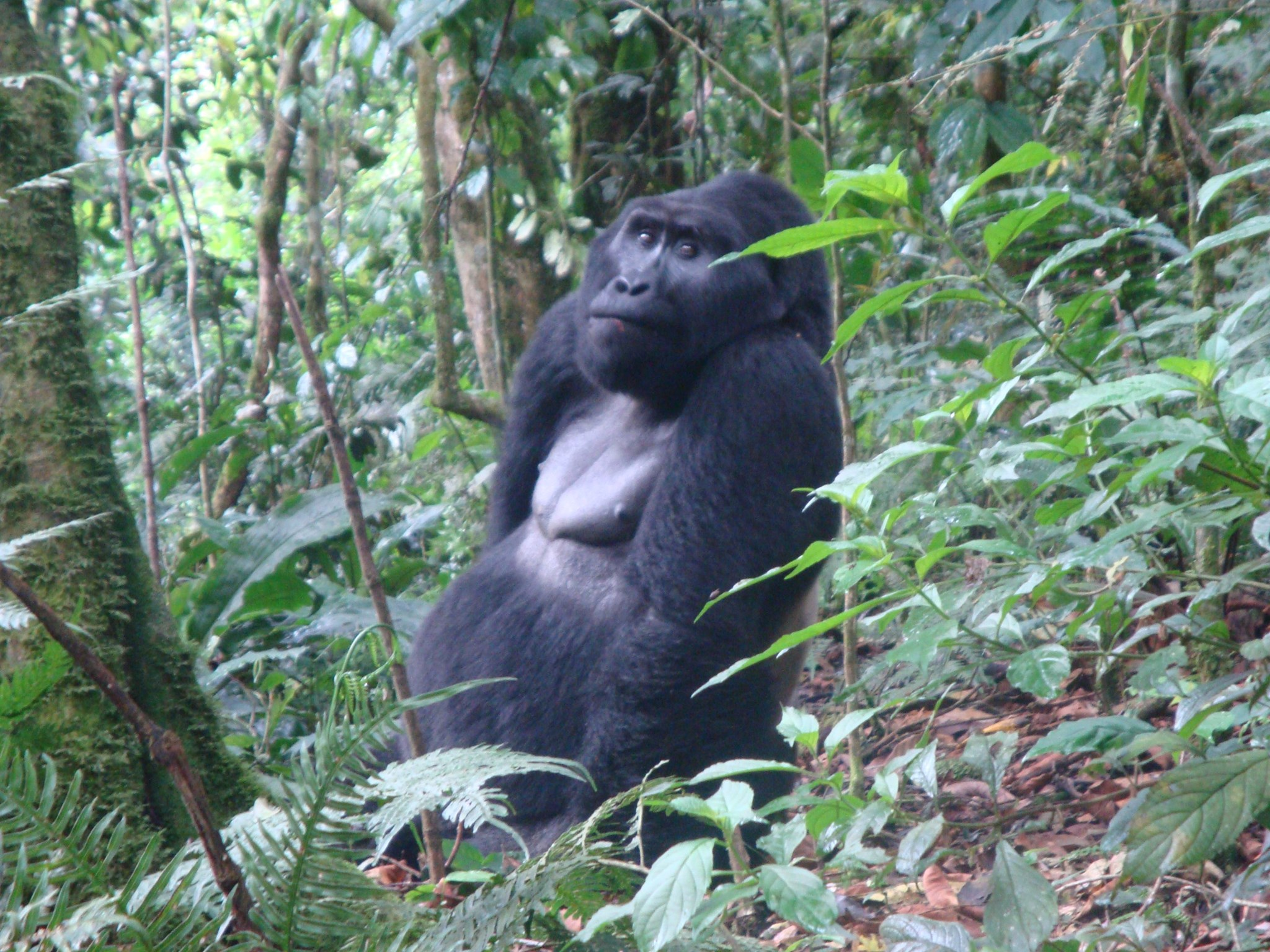 Paul would have loved to be face to face with this magnificent silverback gorilla