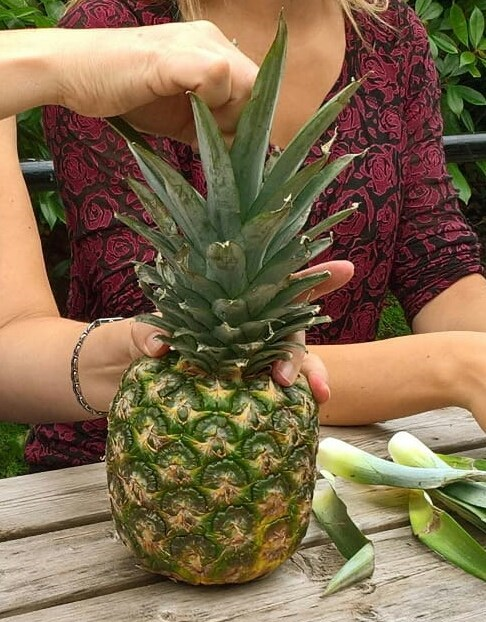 A 100 leaf pineapple